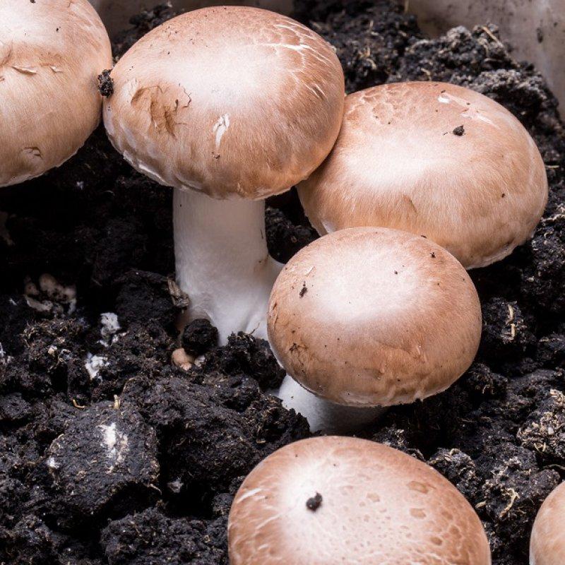 Button mushroom, brown - Agaricus bisporus - grain spawn