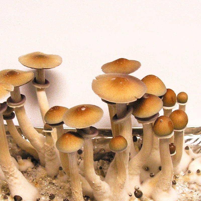 Cubensis Hawaii (PES) - Spores for microscopy, 6,10 €, Medicinal