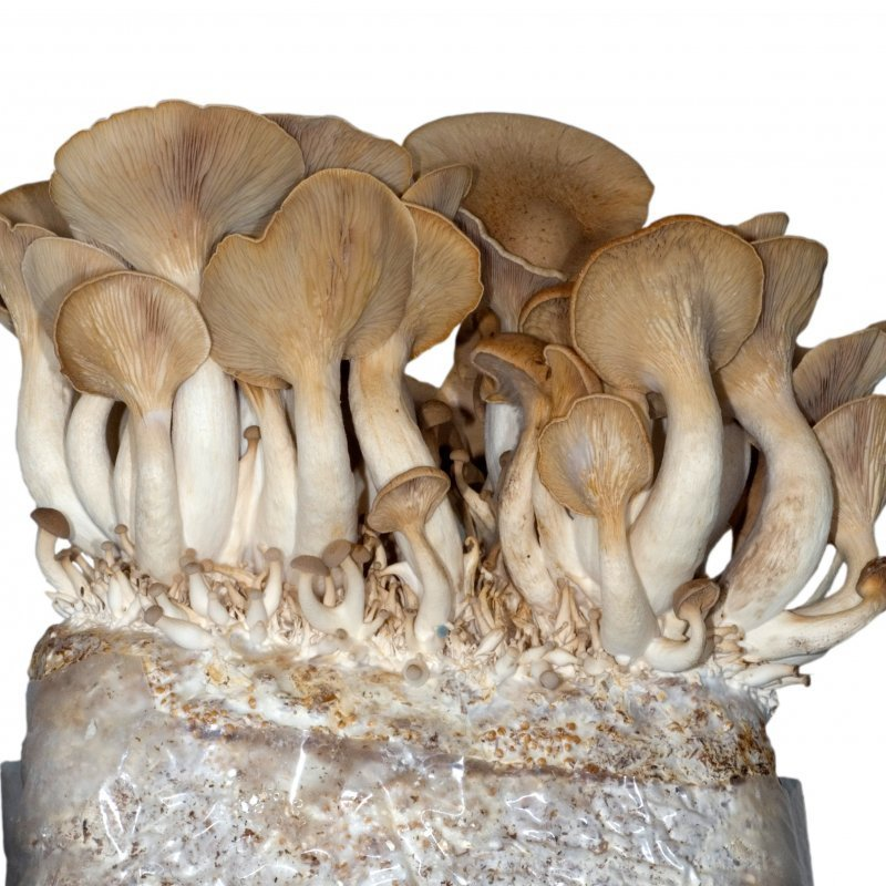 King Oyster - Pleurotus eryngii - mushroom patch for organic growing acc   to Regulation EC 834/2007 and 889/2008, AT-BIO-701 Strain Nr : 101002