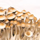 Cubensis Mexico (Dutch King) - Spores for microscopy