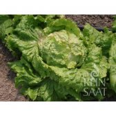 Iceberg Lettuce Graz Cabbage Head 2 Seeds from organic...
