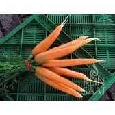 Carrot Nantaise 2 / Milan Seeds from organic Farming