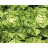 Butterhead Lettuce Murielle Seeds from organic Farming