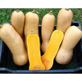 Pumpkin Butternut Waltham Seeds from Organic Farming