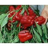 Bell Pepper Quadrato d Asti rosso Seeds from organic Farming