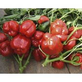 Bell Pepper Yolo Wonder Seeds from Organic Farming