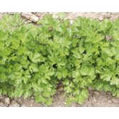 Parsley Einfache Schnitt 2 Seeds from organic Farming
