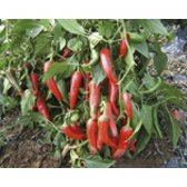 Chili Pepper De Cayenne Seeds from Organic Farming