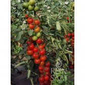 Tomato Moneymaker Seeds from Organic Farming