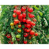 Tomato Zuckertraube Seeds from Organic Farming