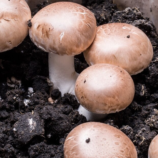 Button mushroom, brown - Agaricus bisporus - grain spawn for organic growing acc. to Regulation EC 834/2007 and 889/2008, AT-BIO-301 Strain Nr.: 105003
