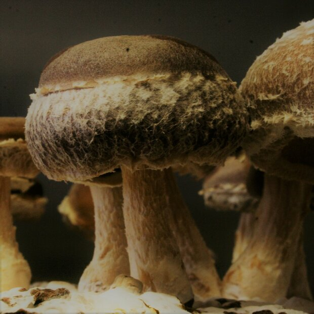 Shiitake - straw-strain - Lentinula edodes- Spawn for...