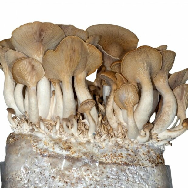 King Oyster - Pleurotus eryngii - mushroom patch for organic growing acc. to Regulation EC 834/2007 and 889/2008, AT-BIO-701 Strain Nr.: 101002