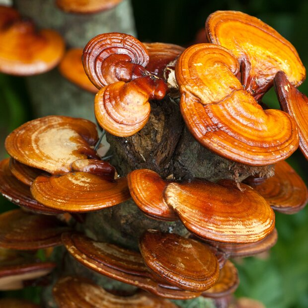 Reishi / Ling Zhi - Ganoderma Lucidum - spawn dowels  for organic growing acc. to Regulation EC 834/2007 and 889/2008, AT-BIO-301