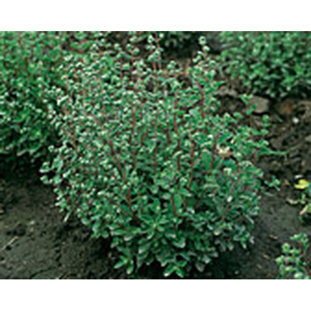 Marjoram, French Seeds from organic Farming