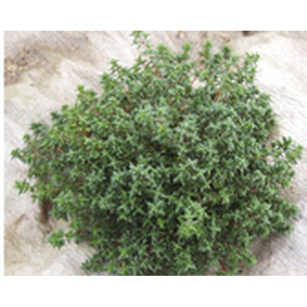 Thyme, German Winter Seeds from organic Farming