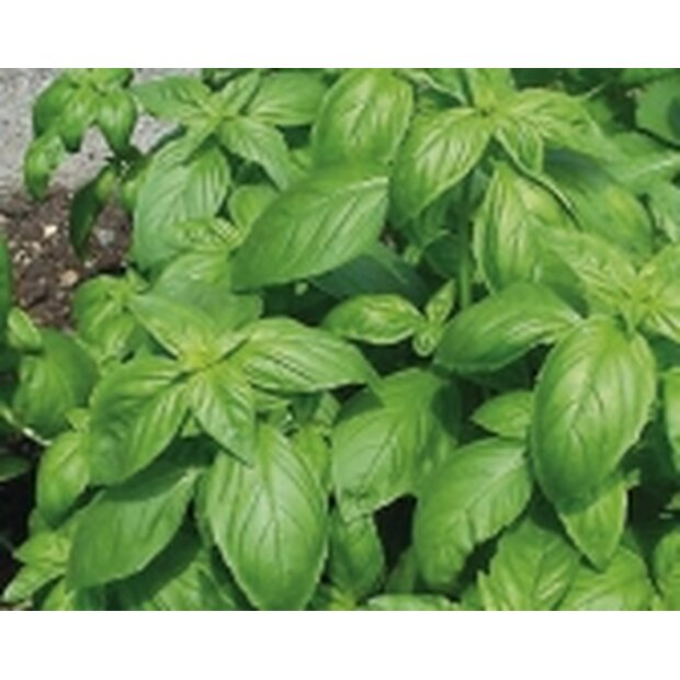 Basil Genovese Seeds from organic Farming