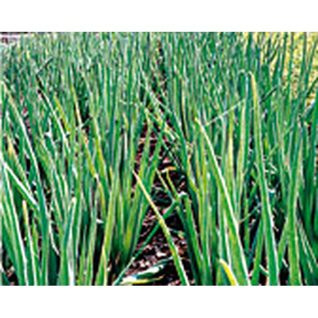 Bunching onion Winter Hedge Seeds from organic Farming