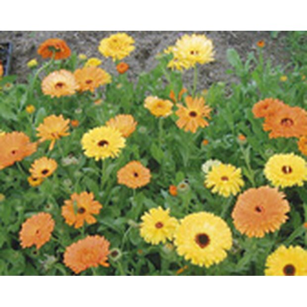 Marigold Seeds from organic Farming