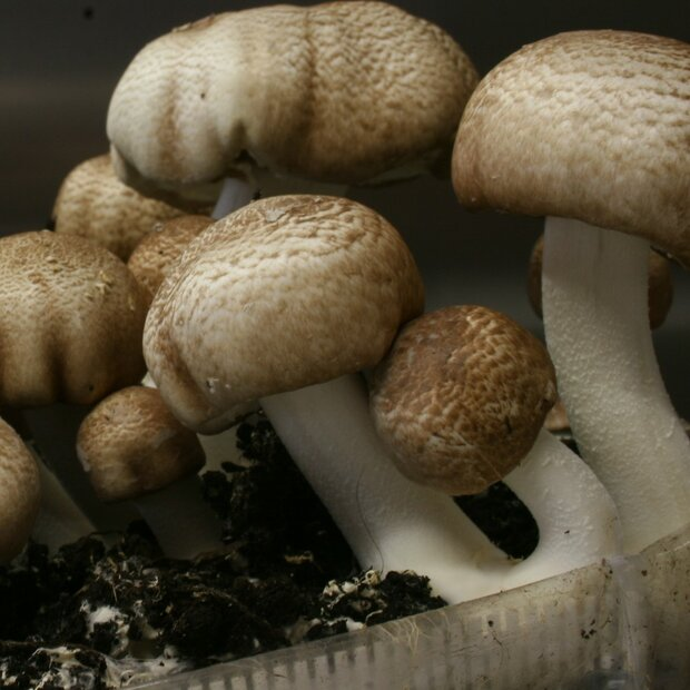 Himematsutake - Agaricus blazei Murrill - Pure culture...