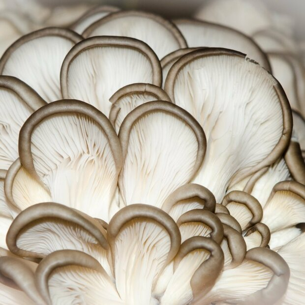 Phoenix oyster - Pleurotus pulmonarius - mushroom patch for organic growing acc. to Regulation EC 834/2007 and 889/2008, AT-BIO-301 Strain Nr.: 101003