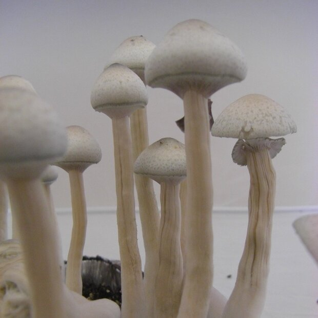 Cubensis Albino A + - Spores for microscopy