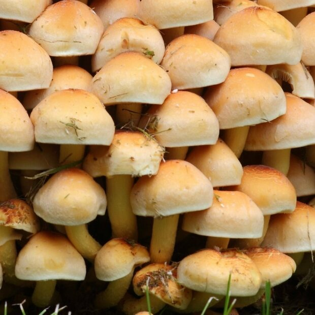 Brown gilled woodlover -Hypholoma capnoides - Grain Spawn...