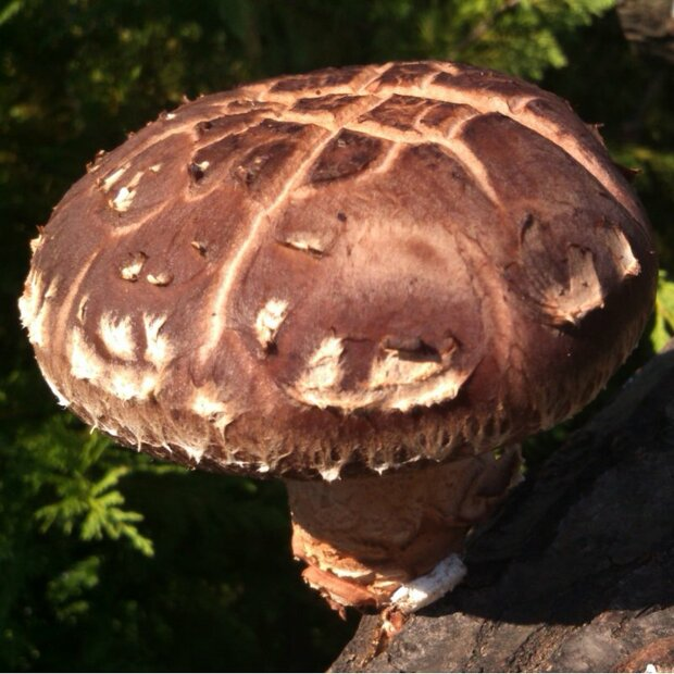 Shiitake - CS-strain - Sawdustspawn for organic growing