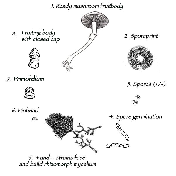 The Life And Cultivation Cycle Of Mushrooms